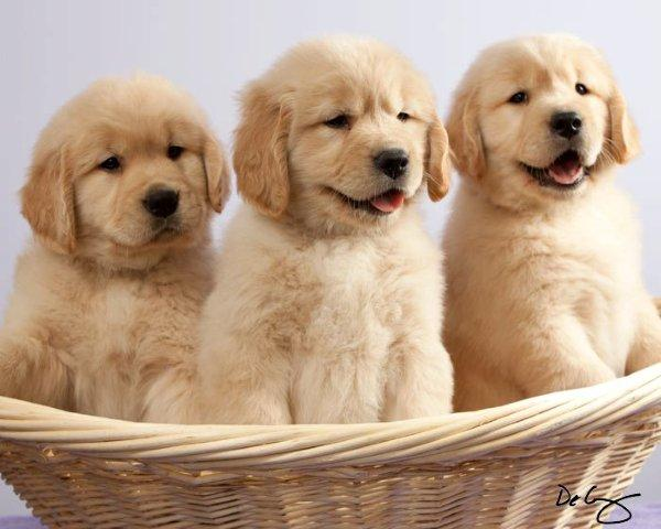 Sun Golden Golden Retrievers
